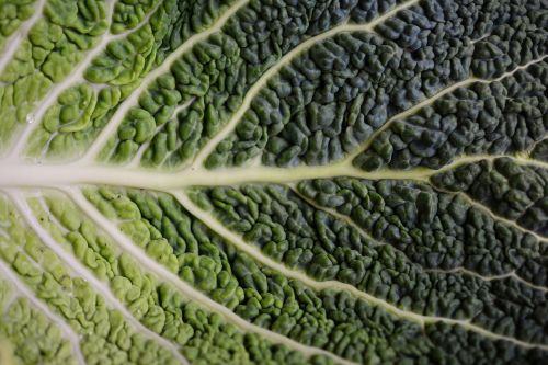 cabbage leaf savoy savoy cabbage leaf