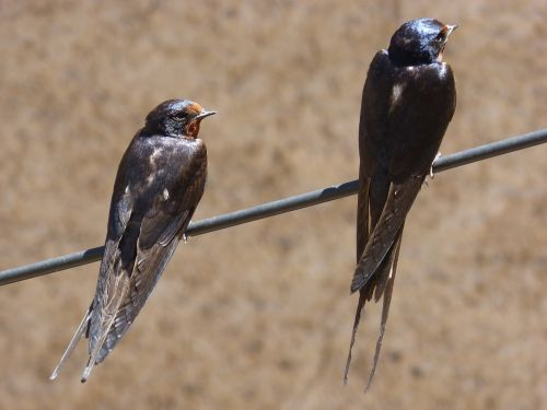 cable swallow couple