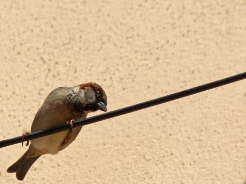 cable sparrow lookout bird
