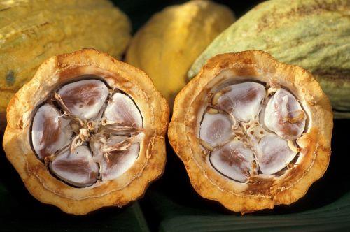 cacao pod cocoa beans food