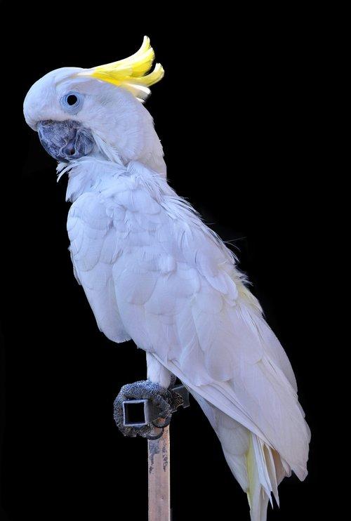 cacatua alba  cacatoes  white
