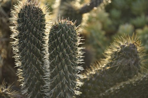 cactaceae  thorny  more acute