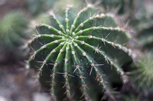 cacti cactus succulent