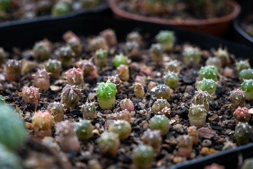 cacti  cactus  astrophytum