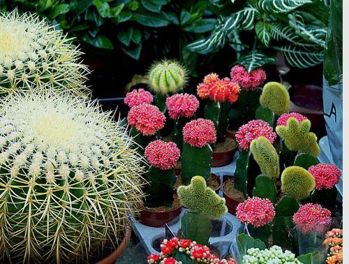 cacti spherical white