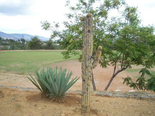 kaktusas, agavė, parkas, kraštovaizdis, žalias, kaktusas ir agavas