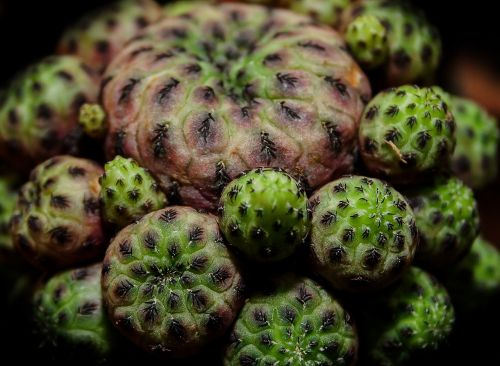 cactus crown cactus lophophora