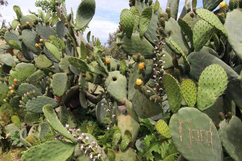kaktusas,dygliuoti kriaušės,gėlės,erškėčių,gamta,augalas,žalias