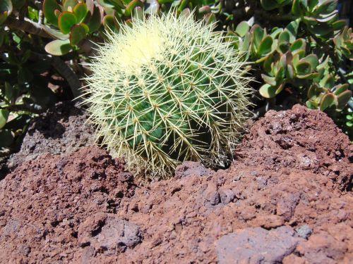 kaktusas,augalas,Ispanija,gamta,žiedas,žydėti,gražus,flora