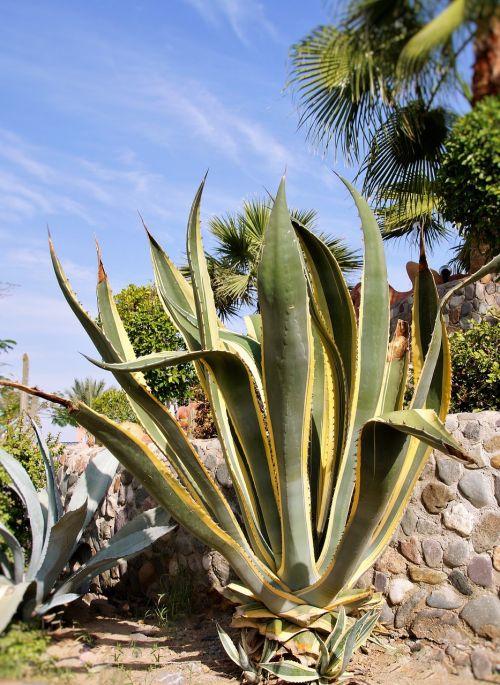 cactus aloe exotica