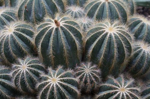 cactus green sting