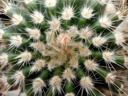 cactus pallokaktus peaks
