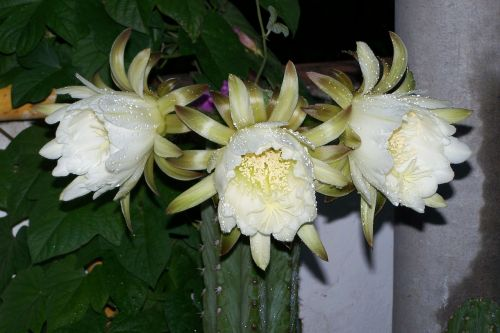 cactus peruvian torch flower