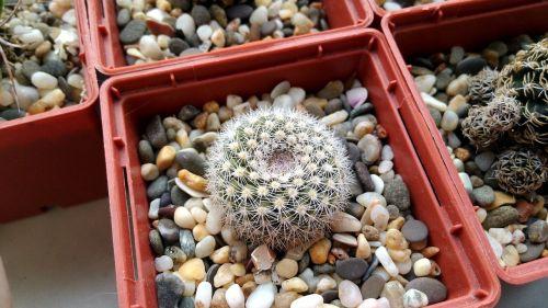 parody cactus succulent