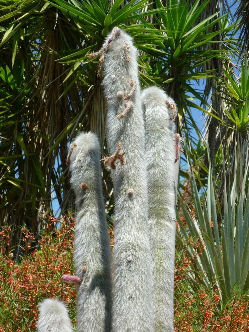 cactus spur