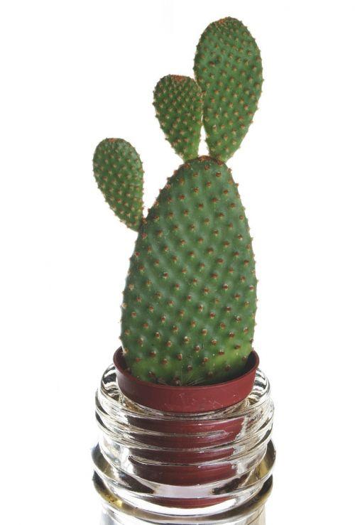 cactus plant flower