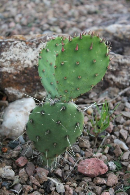cactus cacti southwest