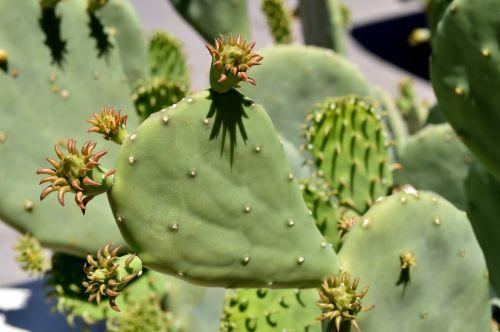 kaktusas, žalias, augalas, Meksika, kaktusas