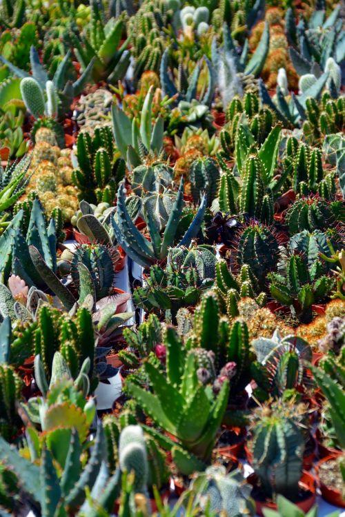cactus sokkulenten plants green