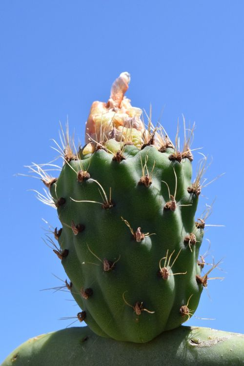 cactus prickly pear cactus greenhouse