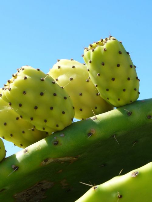 cactus fruit cactus greenhouse