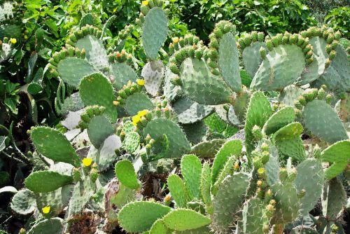 kaktusas,opuntia,snowshoes,geltonos gėlės,karpiai,erškėčių,kaktusai
