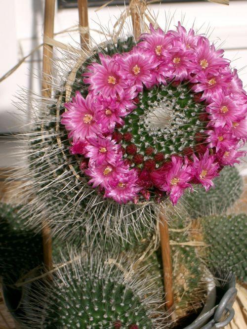kaktusas,gėlės,gražus,kaktusas žiedas