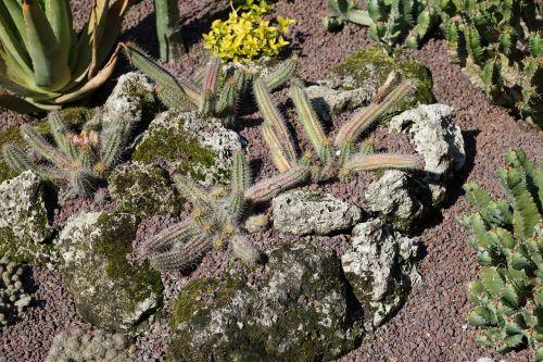 cactus green plant