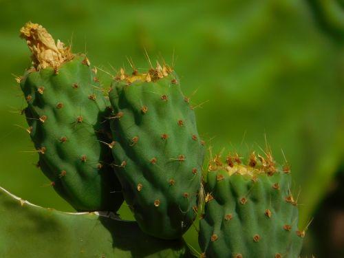 kaktusas,žalias,spalvos,Gran Canaria,kanarika,kaktusiniai gėlės