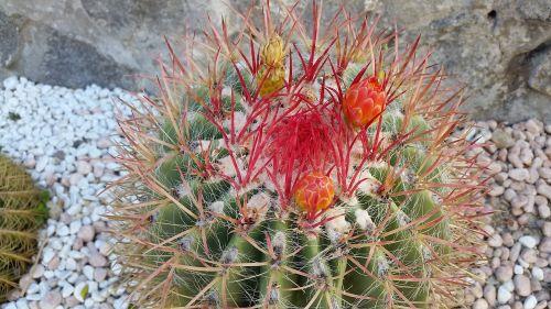 cactus flower august