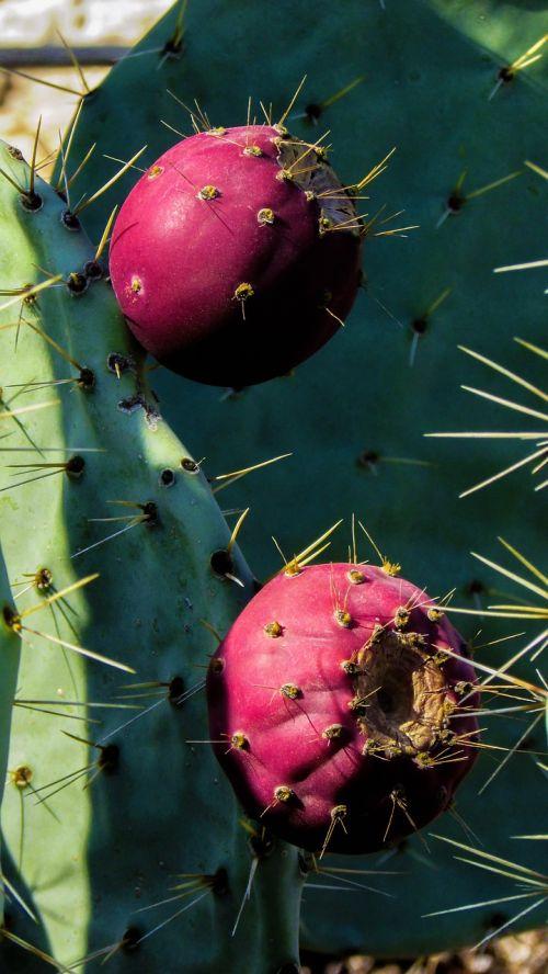 cactus plant fruit