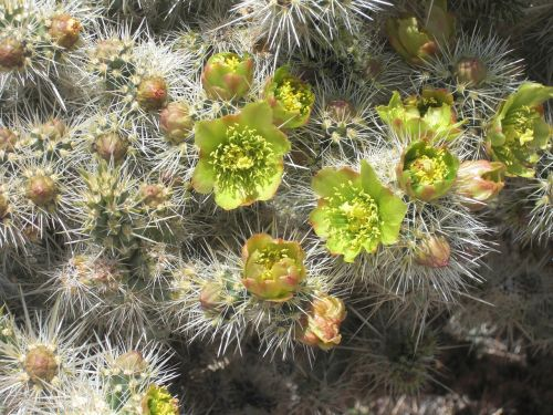 cactus joshua tree national park rocks