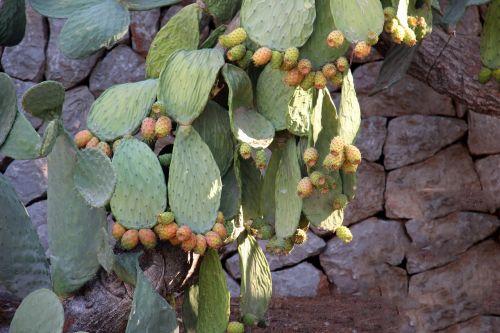 kaktusas,dygliuotas kriaušes,kaktusas šiltnamius,dygliuotas,paskatinti,Viduržemio jūros,augalas,vaisiai,kaktusas žiedas
