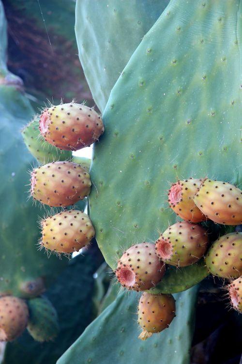 cactus prickly pear plant