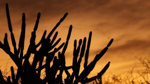 cactus serrated sol