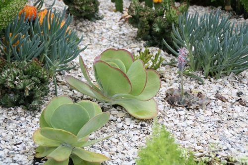 kaktusas,kaktusai,kaktusai,augalai,augalas,natūralus,žiedas,žydėti,žiedlapis,botanikos,ekologiškas,stiebas,botanika,žolė,Žemdirbystė,lauke,aplinka,lapai,sodininkystė,augmenija