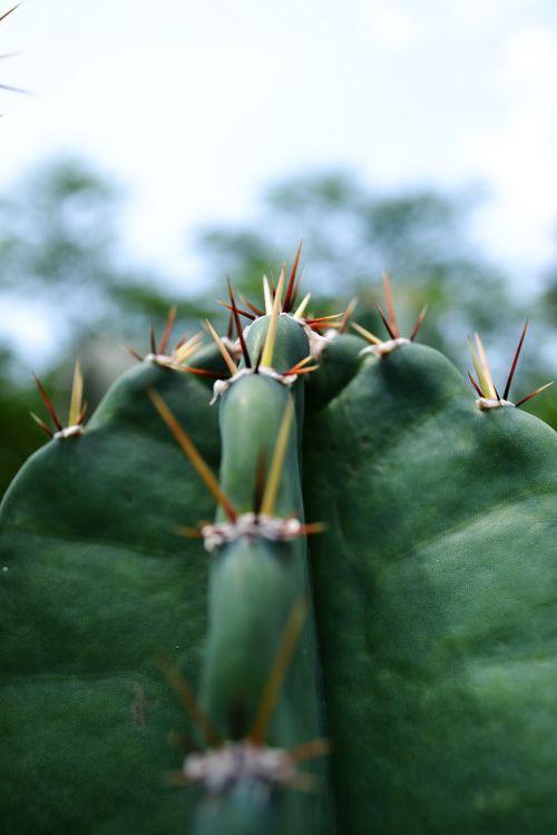 cactus dry pines