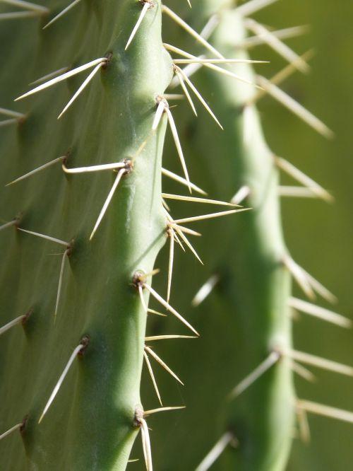 cactus shovels chumberas