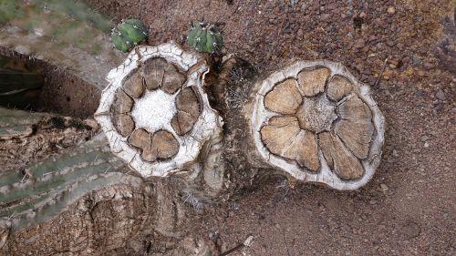 cactus trunk tree