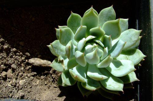 echeveria lola succulent round