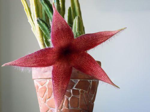 kaktusas,gėlė,žydintis kaktusas,raudona,cthulhu