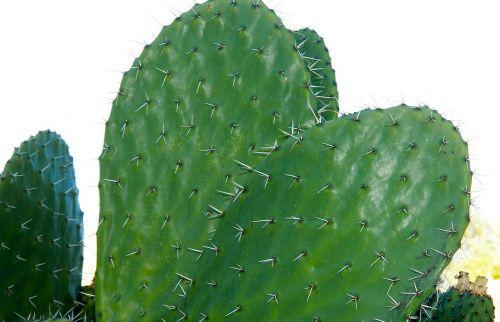 cactus nature century plant