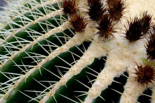 kaktusas,makro,žalias,erškėčių,aukso kaktusas kaktusas,kaktusas šiltnamius,echinokaktumas,paskatinti,dygliuotas,augalas,echinocactus grusonii