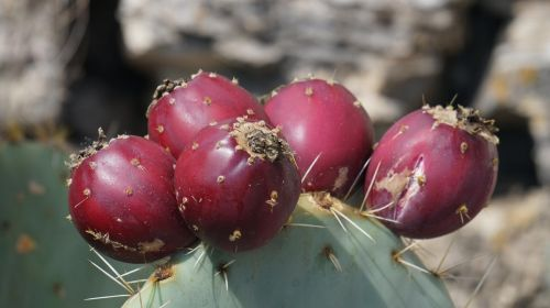 cactus fruits fruit