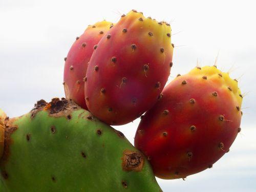cactus farbenspiel prickly