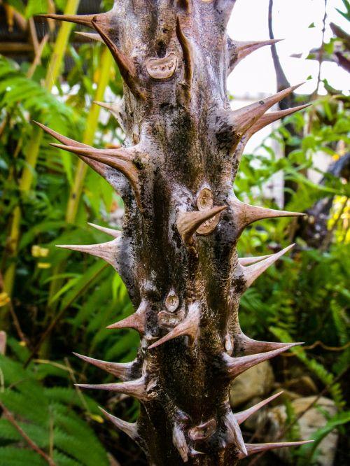 cactus thorns spur