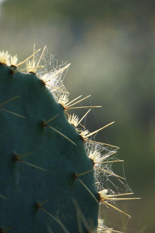 cactus thorns spider web