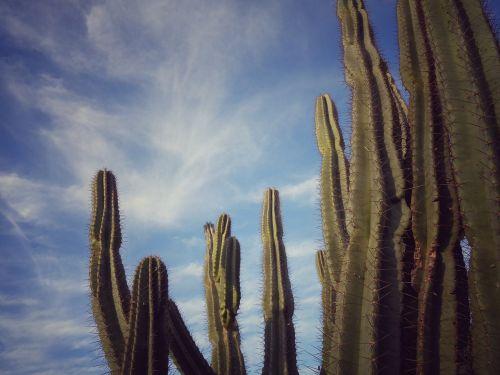 cactus nature thorny