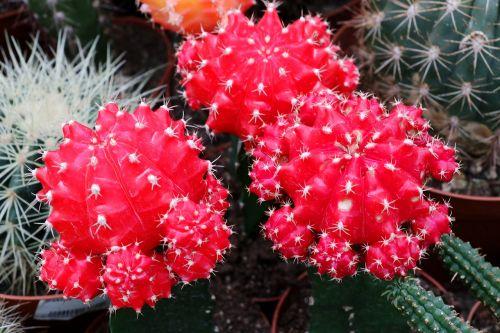 cactus spur plant