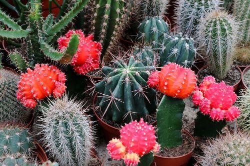 kaktusas,paskatinti,augalas,dygliuotas,Uždaryti,erškėčių,kaktusas žiedas
